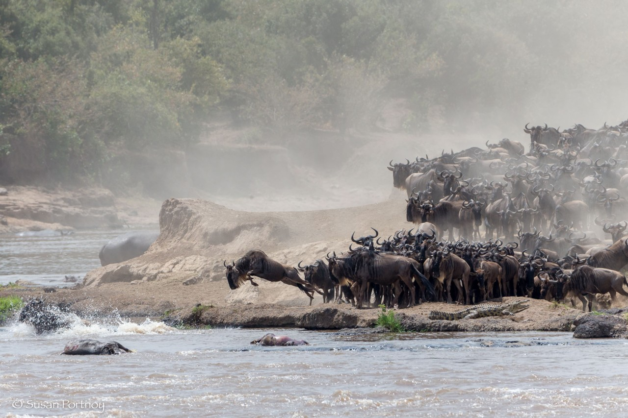 Wildebeest leaps into the Mara River at the beginning of a crossing in Kenya